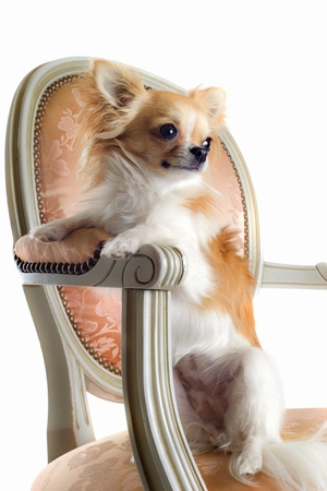 cute chihuahua on an antique chair in front of white background photo