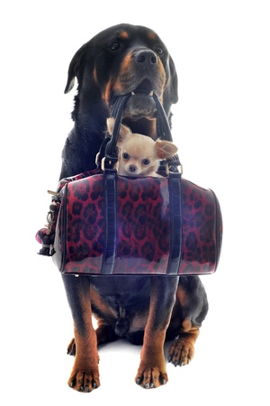 kennel: portrait of a purebred rottweiler and puppy chihuahua in a bag  in front of white background