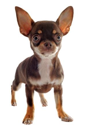 cane chihuahua: ritratto di un simpatico cucciolo di razza chihuahua di fronte a sfondo bianco