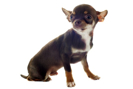 portrait of a cute purebred  puppy chihuahua in front of white background Stock Photo - 13303005
