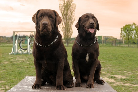 two brown labrador retriever sitting on a table in a garden