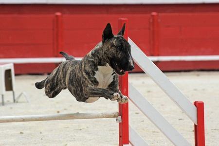 purebred running bull terrier in a competition of agility photo