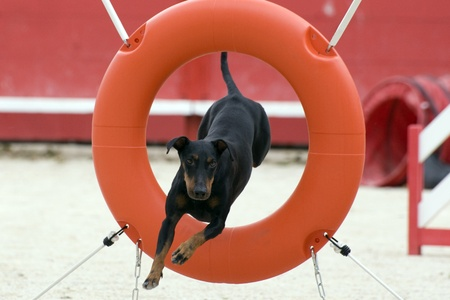 agility dog: portrait of a purebred Manchester Terrier in a competition of agility Stock Photo