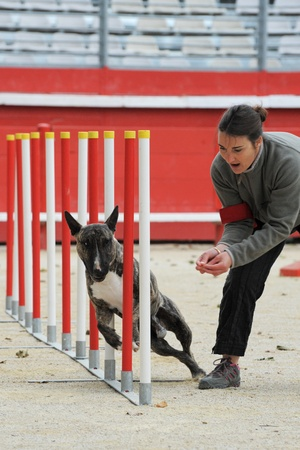 purebred running bull terrier in a competition of agility with his owner photo