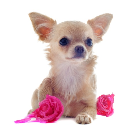 cane chihuahua: ritratto di un simpatico cucciolo di razza chihuahua con rosa di fronte a sfondo bianco
