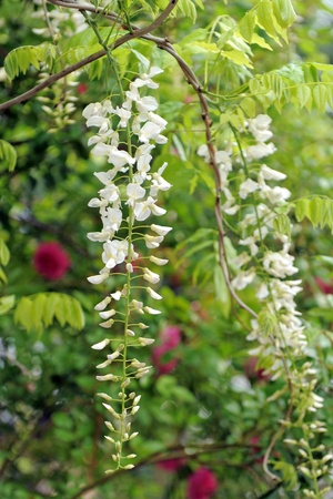 wisteria: Wisteria sinensis Alba flowers with green background