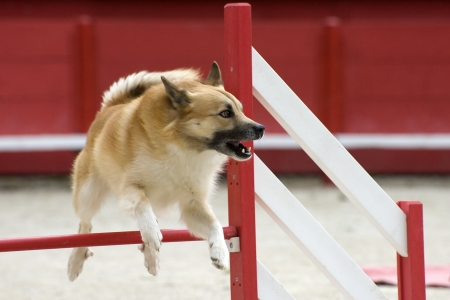 sheepdog: Icelandic Sheepdog jumping in a competition of agility Stock Photo