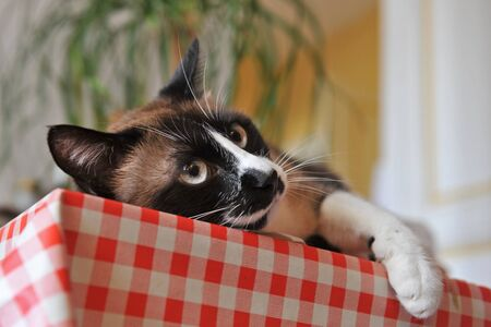 beautiful purebred siamese cat lying down on a table Stock Photo - 13645404
