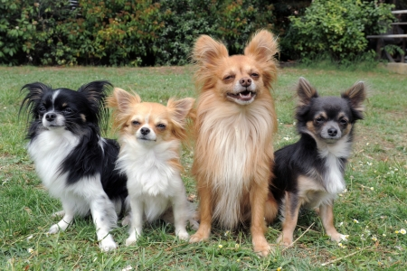 chihuahua puppy: portrait of a cute purebred  four chihuahuas in a garden Stock Photo