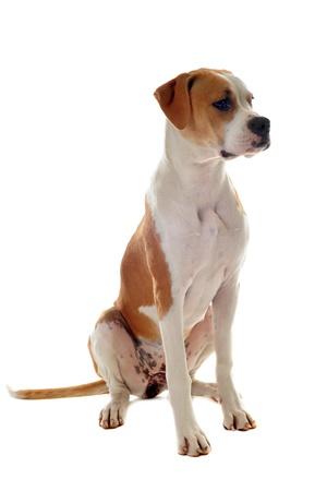 dog head: portrait of a purebred american bulldog  on a white background