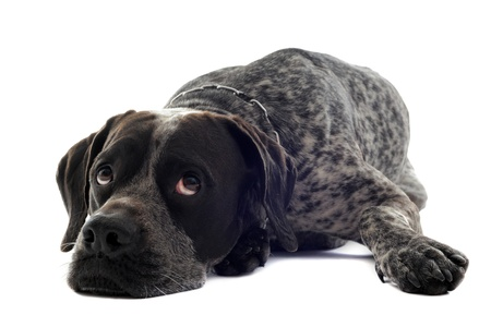tired shorthaired pointer in front of white background photo