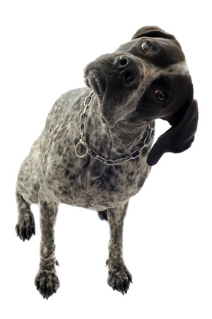 german shorthaired pointer in front of white background photo