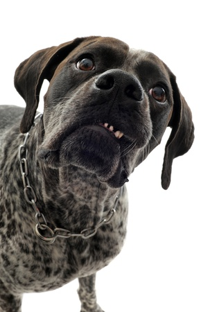 aggressive german shorthaired pointer in front of white background photo