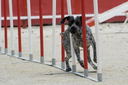 agility dog: german shorthaired pointer in a competition of agility Stock Photo