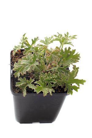 odorous: Pelargonium citronnellum in front of white background Stock Photo