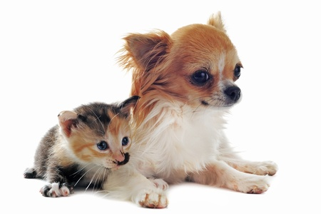 portrait of a cute purebred chihuahua and tricolor kitten in front of white background photo