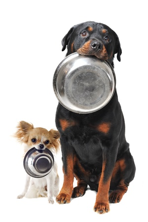 dog food: portrait of a cute purebred rottweiler and chihuahua and his food bowl