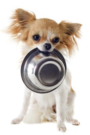 perro comiendo: retrato de una linda pura raza chihuahua y su plato de comida Foto de archivo