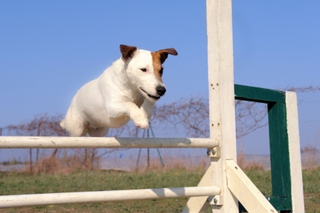 portrait of a purebred jack russel terrier in a competition of agility photo