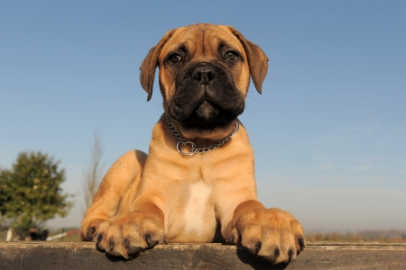 portrait of a purebred puppy Bull Mastiff photo