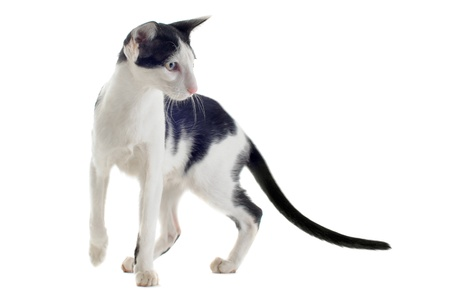 oriental white cat: portrait of a black and white oriental cat in front of white background