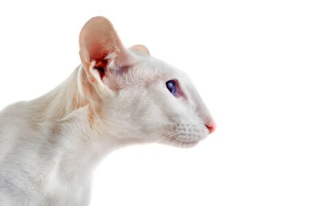 oriental white cat: head of a white oriental cat in front of white background Stock Photo