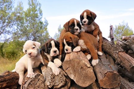 puppies: five purebred puppies boxer on the wood Stock Photo