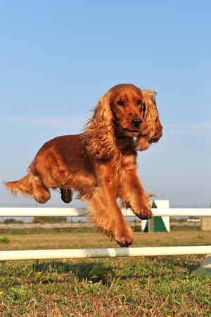 cocker: purebred cocker spaniel in a training of agility