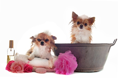 portrait of two wet purebred  chihuahuas in front of white background Stock Photo - 14187741