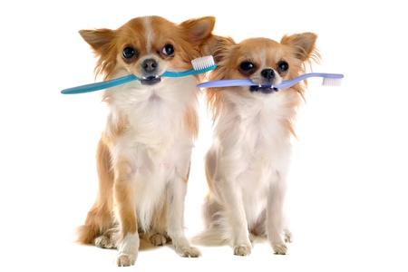 cane chihuahua: ritratto di razza chihuahua con spazzolino da denti di fronte a sfondo bianco