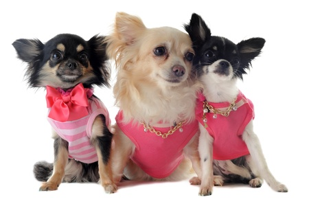dog grooming: group of chihuahua dressed in front of white background