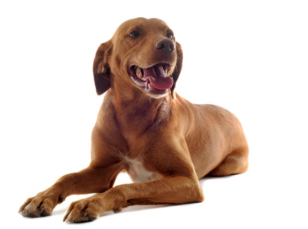 hungarian pointer: portrait of a vizsla with  in front of white background Stock Photo
