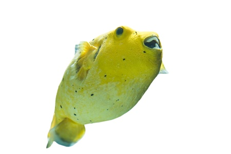 Golden Pufferfish ,Arothron citrinellus, in a white background photo