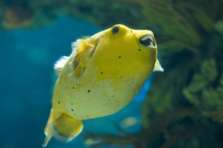 arothron: Golden Pufferfish ,Arothron citrinellus, in a big aquarium