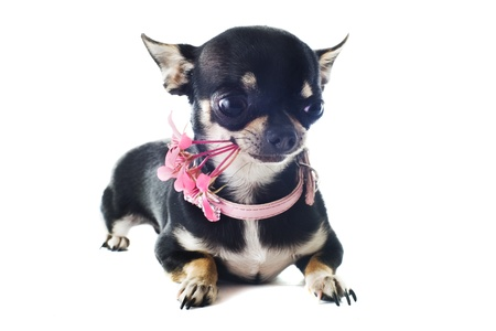 portrait of a cute purebred  puppy chihuahua with flower in front of white background photo