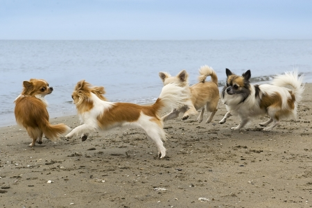 chihuahua: four chihuahuas running on the beach in summer