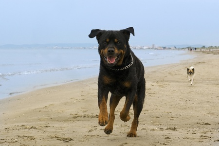 running nose: portrait of a purebred rottweiler running on the beach Stock Photo