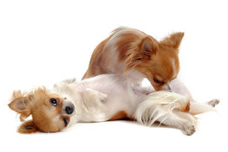 submissiveness: portrait of a cute purebred  chihuahuas in front of white background