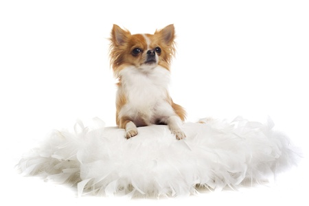 portrait of a cute purebred  chihuahua in front of white background photo