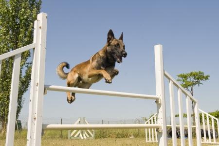 agility dog:  purebred belgian sheepdgog malinois in a training of agility Stock Photo