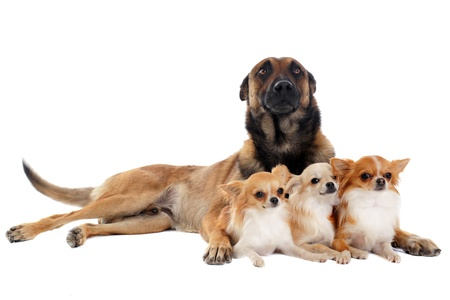 portrait of a cute purebred chihuahuas and malinois in front of white background photo