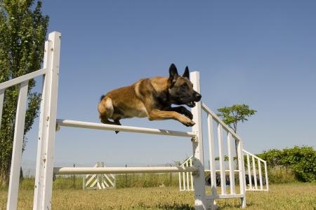 purebred belgian sheepdgog malinois in a training of agility photo