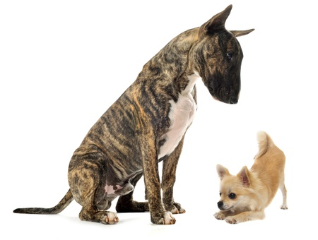 sociability: bull terrier and puppy chihuahua in front of white background