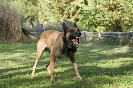 police dog: picture of an aggressive purebred belgian sheepdog malinois Stock Photo