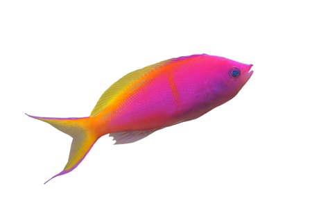 nemanthias carberryi, Threadfin Anthias in front of white background photo
