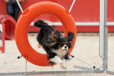 agility dog: jumping purebred cavalier king charles in a competition of agility