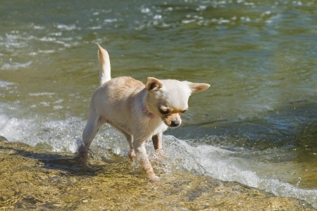 portrait of a cute purebred  puppy chihuahua in the river photo