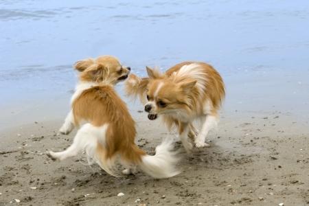 kampfhund: zwei reinrassige Chihuahuas spielen am Strand