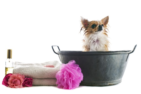 portrait of a wet purebred  chihuahua in front of white background photo