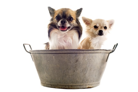 portrait of two purebred   chihuahua in front of white background Stock Photo - 14409140